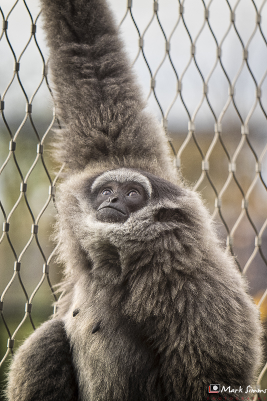 Silvery Gibbon, Chester Zoo, Cheshire, England