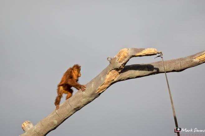 Sumatran Orangutan, Chester Zoo, Cheshire, England