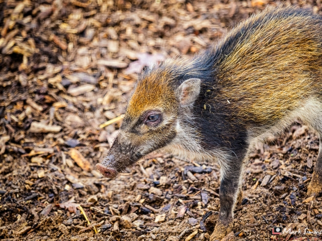 Visayan Warty Piglet, Chester Zoo, Cheshire, England