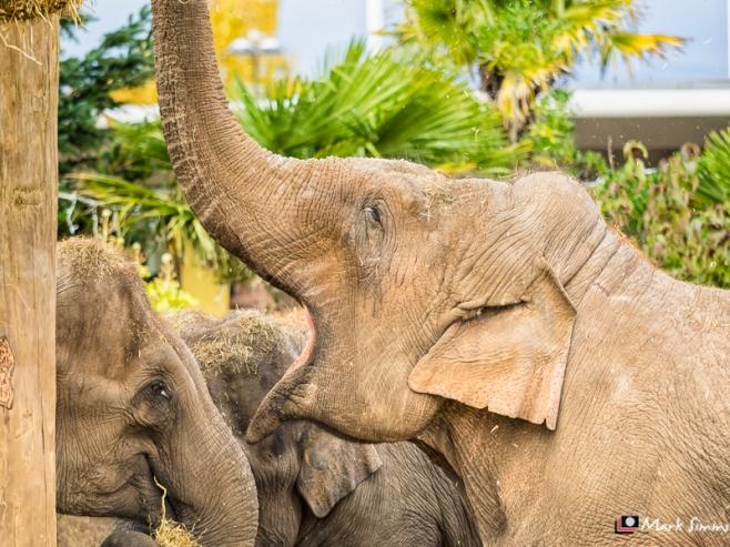Asian Elephants, Chester Zoo, Cheshire, England
