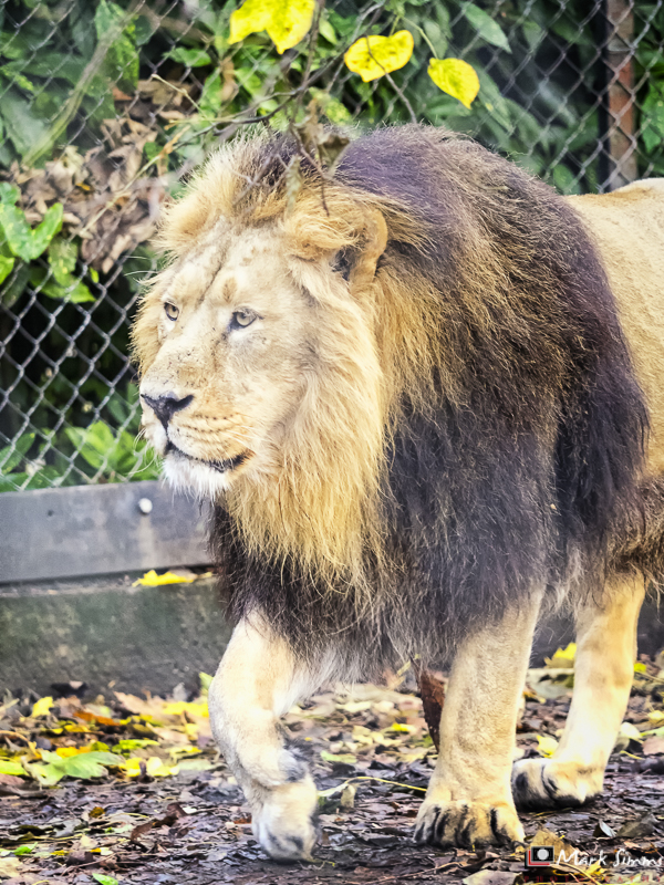 Asiatic Lion, Chester Zoo, Cheshire, England