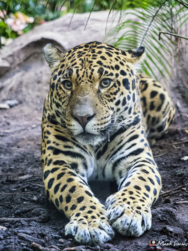 Jaguar, Chester Zoo, Cheshire, England