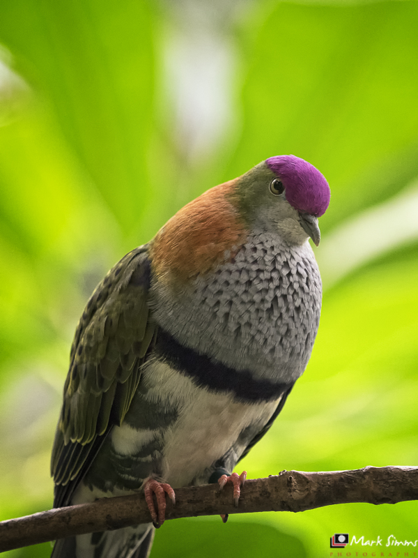 Purple-crowned Fruit Dove, Chester Zoo, Cheshire, England