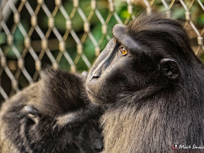 Sulawesi Crested Macaques, Chester Zoo, Cheshire, England