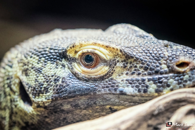 Komodo Dragon, Chester Zoo, Cheshire, England