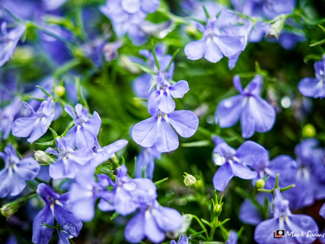 Blue Cloud, Flower