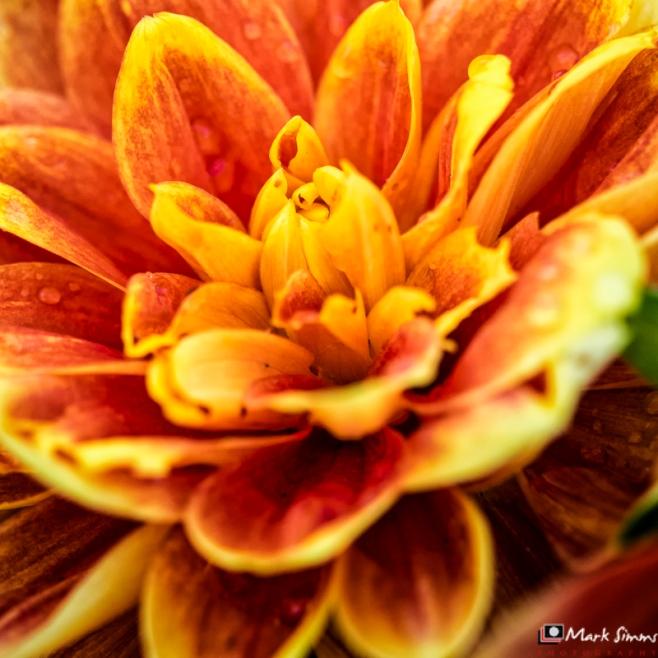 Dahlia, Flower