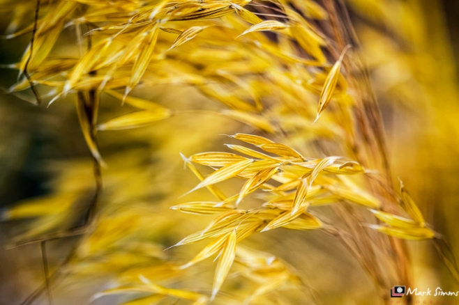 Golden Whisper, Grass
