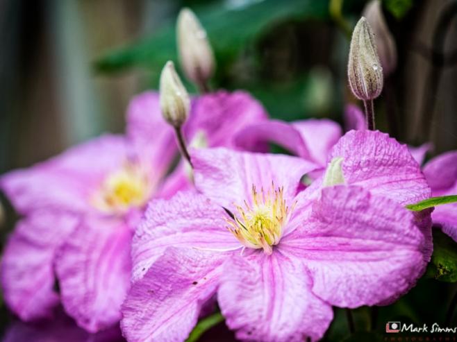 Clematis, Flower