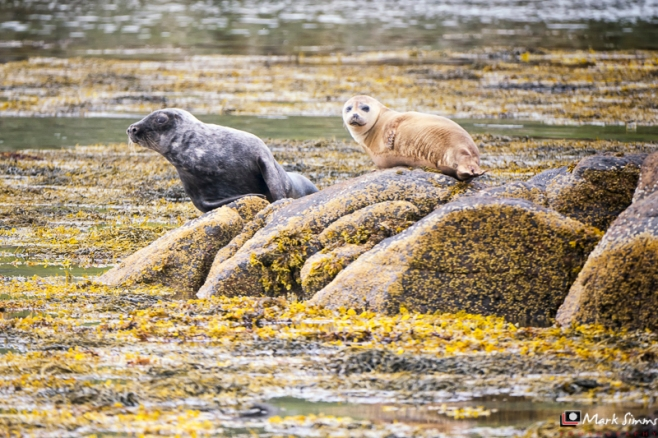 Seals, Outer Hebrides, Scotland