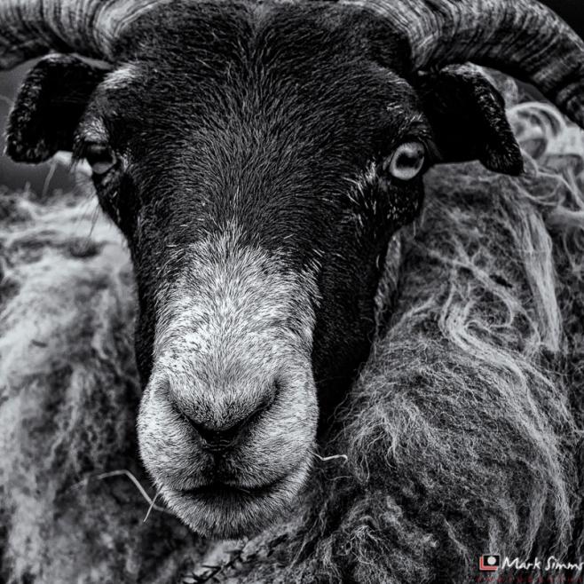 Sheep, Outer Hebrides, Scotland