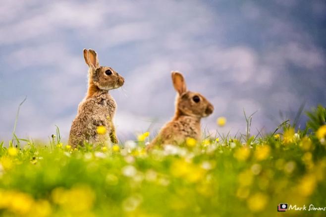 Rabbits, Outer Hebrides, Scotland