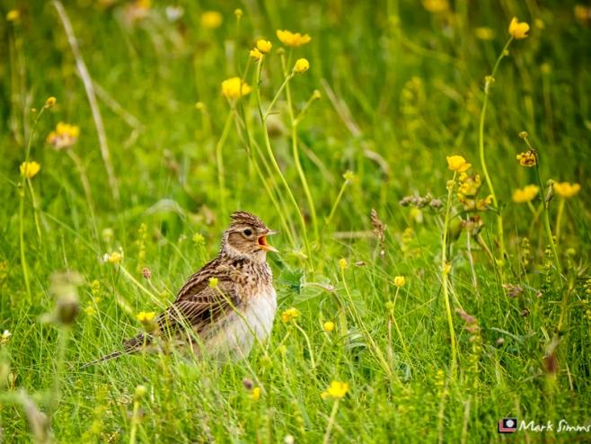 Skylark, Outer Hebrides, Scotland