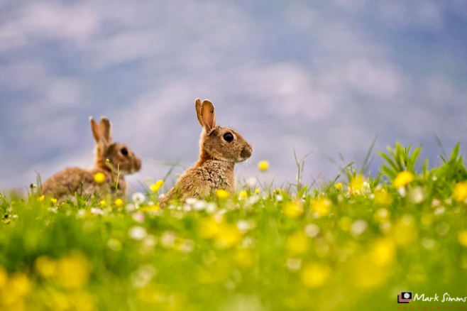 Rabbits, Outer Hebrides, Scotland