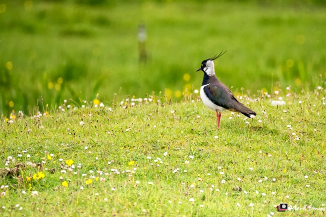 Lapwing, Outer Hebrides, Scotland