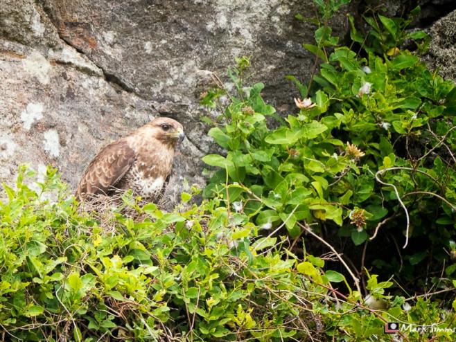 Buzzard, Outer Hebrides, Scotland