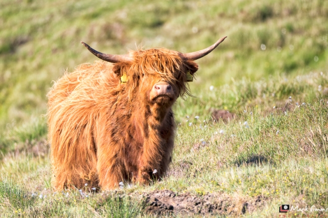 Highland Cow, Outer Hebrides, Scotland
