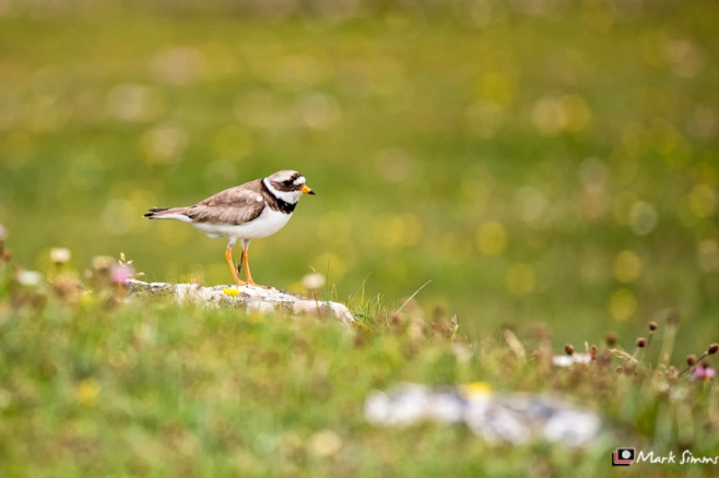 Ringed Plover, Outer Hebrides, Scotland