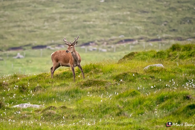 Red Deer, Outer Hebrides, Scotland
