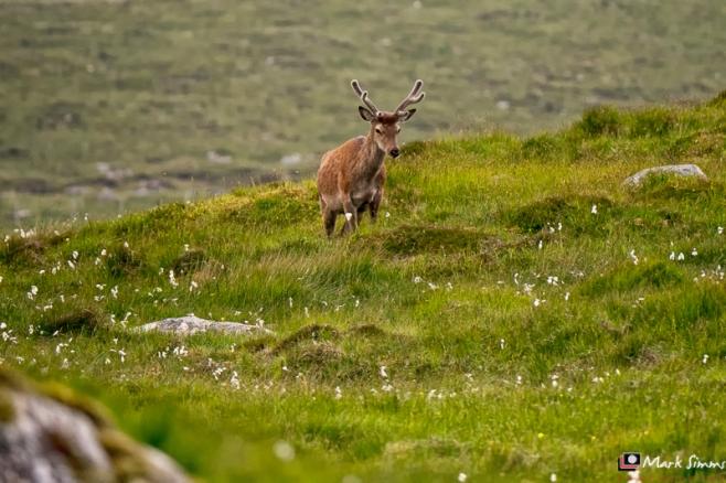 Red Deer, Outer Hebrides, Scotland
