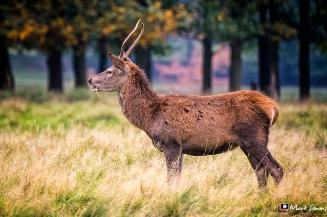 Red Deer, Tatton Park, Knutsford, Cheshire, England