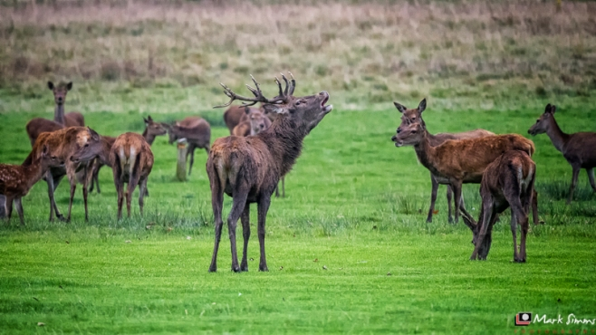 Red Deer, Tatton Park, Knutsford, Cheshire, England