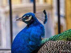 Peacocks, Castelo De Sao Jorge, Lisbon, Portugal, Europe