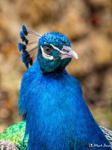 Peacocks, Castelo De Sao Jorge, Lisbon, Portugal, Europe