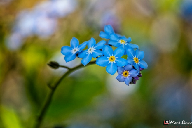 Forget-Me-Not, Flower, Garden