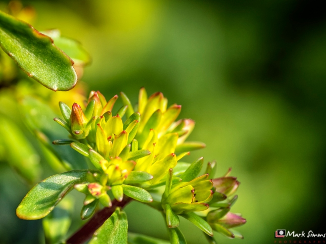 Sedum, Flower, Garden