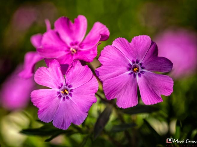 Pink Trio, Flower, Garden