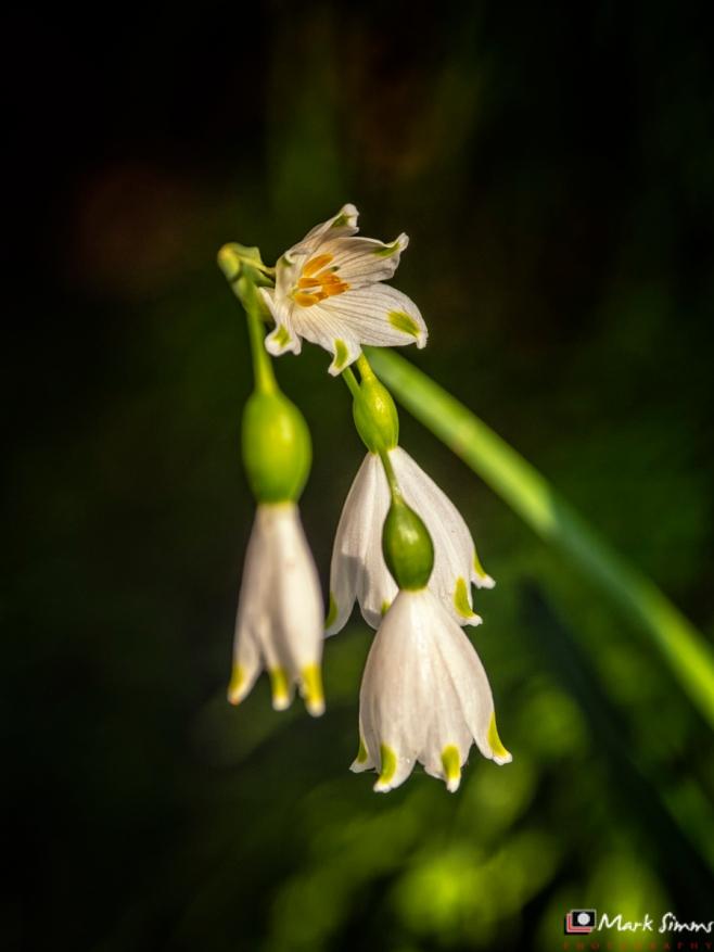 Snowdrop, Flower, Garden