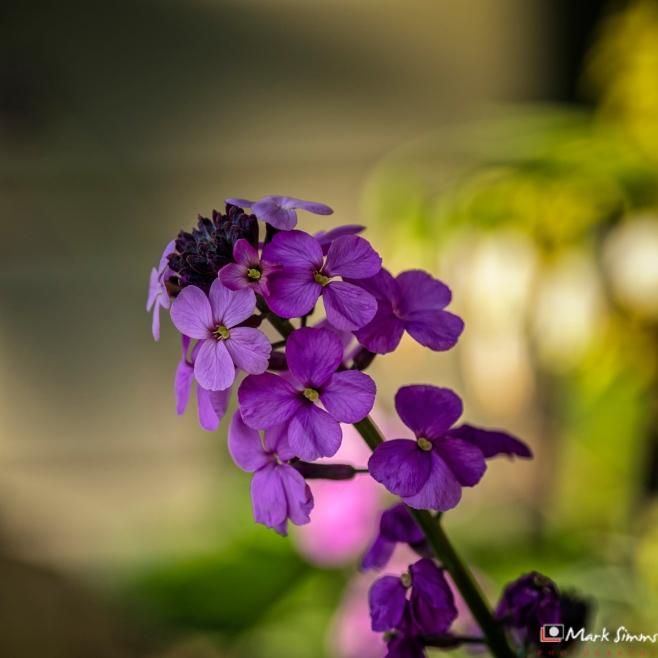 Wallflower, Garden