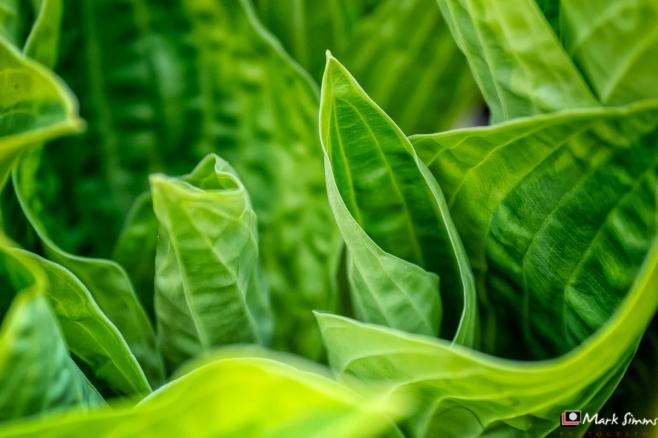 Hosta, Leaf, Garden