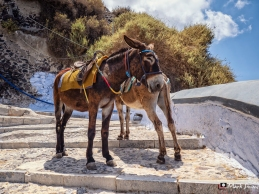 Donkeys, Fira, Santorini, Greece, Europe