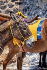 Donkeys, Fira, Santorini, Greece, Europe