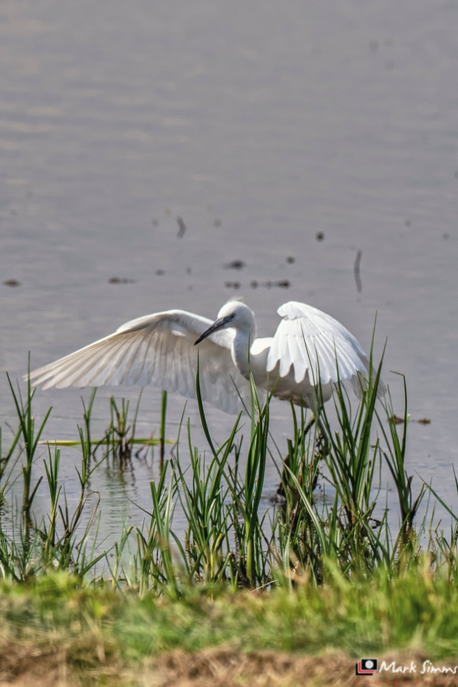 Little Egret, RSPB Burton Mere, Wirral, Cheshire, England, UK