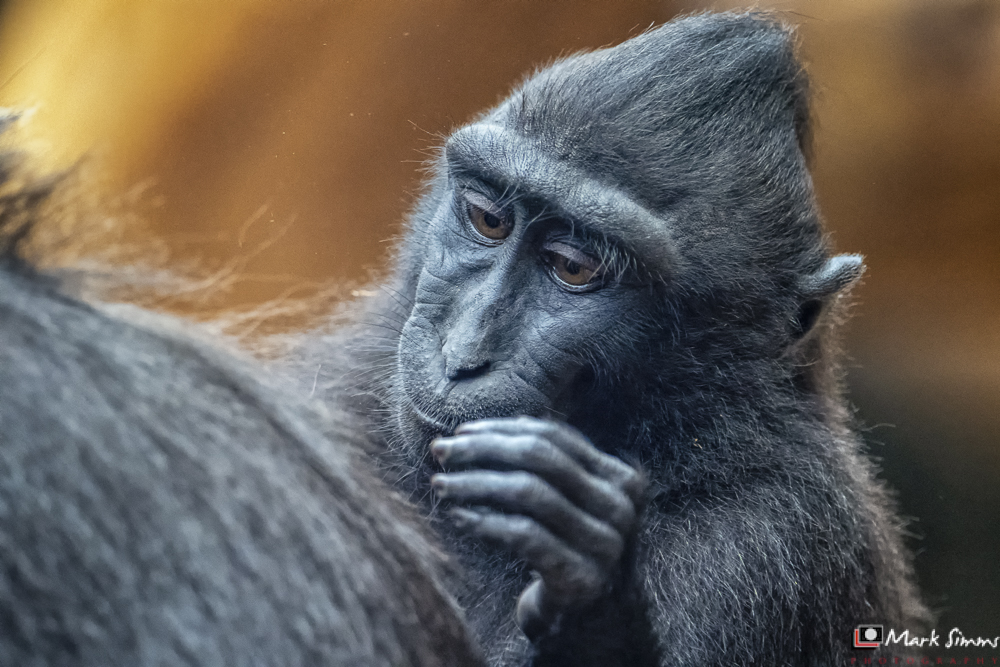 Sulawesi Crested Macaque, Chester Zoo, Chester, England, UK