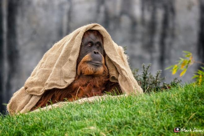 Sumatran Orangutan, Chester Zoo, Chester, England, UK