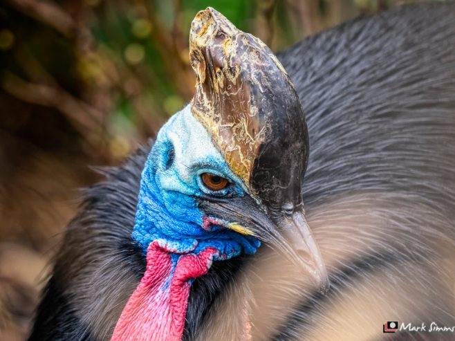 Southern Cassowary, Chester Zoo, Chester, England, UK