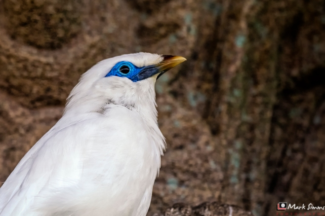 Bali Starling, Chester Zoo, Chester, England, UK