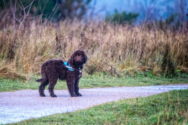 Daisy, Barbet, French Waterdog