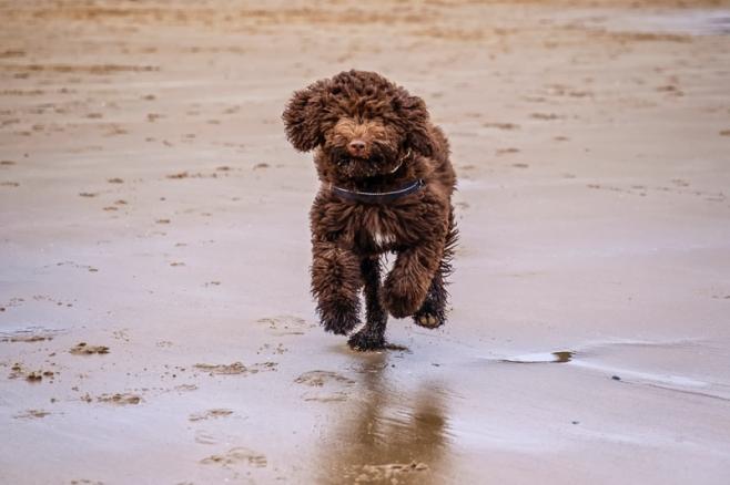 Daisy, Barbet, French Waterdog